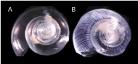 pteropod before and after exposure to acidification